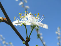 Spring blossoming of plum tree Stock Image