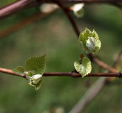 Spring blossoming rod branch Stock Photo