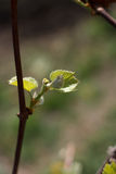 Spring blossoming rod branch Stock Photos
