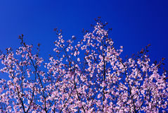 Spring Blossoming of a Sakura; Blue Sky in the Background Royalty Free Stock Photos