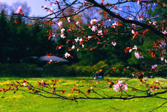 Spring Blossoming of a Sakura Stock Photo