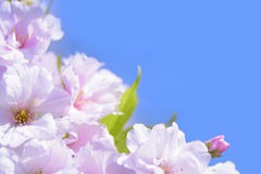 Spring Blossoming Sakura Flowers on the Blue Sky Background Stock Photography