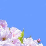 Spring Blossoming Sakura Flowers on the Blue Sky Background Royalty Free Stock Photography