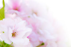 Spring Blossoming Sakura Flowers on the White Background Royalty Free Stock Photo