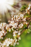 Spring blossoming in sunlight Stock Image