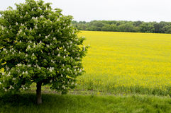 Spring the blossoming tree against the field of rape, a subject stock photo
