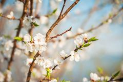 Spring of a blossoming tree close-up and space for text. Natural texture of a flowering tree. royalty free stock image