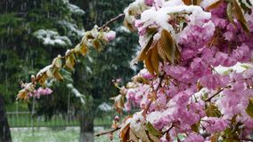 The spring tree is covered with purple flowers and snow. The spring blossoming tree is covered with a large number of purple flowers that fall asleep with snow stock video footage