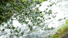 Spring blossoming tree fast river. Springtime blossoming tree against the fast river clean flora stock video footage