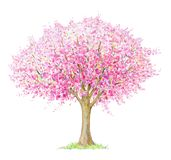 Spring blossoming  tree  isolated on white. Spring blossoming  tree handdrawing isolated on white. Four seasons.  Tree  drawing one of four, spring Royalty Free Stock Images