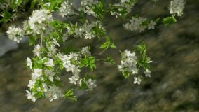 Spring blossoming tree season fast river. Blossoming tree springtime fast river clean flora green leaf stock video