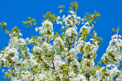 Spring blossoming tree Royalty Free Stock Photography