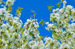 Spring blossoming tree Stock Photos