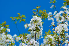 Spring blossoming tree Royalty Free Stock Image