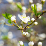 Spring blossoming white spring flowers Royalty Free Stock Photo