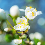 Spring blossoming white spring flowers Stock Photography