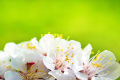 Spring blossoming white spring flowers Stock Image