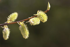 Spring blossoming of a willow Royalty Free Stock Photo