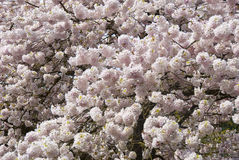 Spring Blossoms. Beautiful pink and white spring blossoms Royalty Free Stock Images