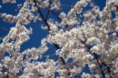 Spring blossoms. Bright white tree blossoms on the deep blue sky background stock photo
