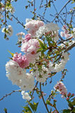 Spring Blossoms. Apple blossoms against clear blue sky stock image