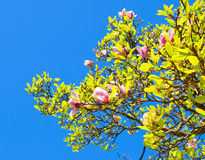 Spring blossoms. Of Chinese magnolia tree stock photo