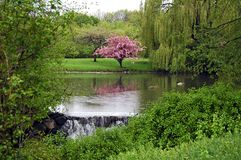 Spring blossoms. A picture of pink cherry blossoms reflecting in a pond with ducks Stock Photo