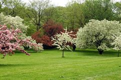 Spring blossoms. A picture of white and pink cherry blossoms taken in the spring Stock Photography