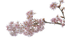 Spring blossoms Royalty Free Stock Photo