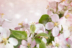 Spring blossoms against pink background Stock Image