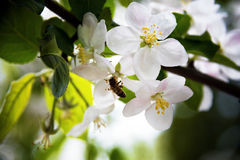 Spring blossoms, apple tree branch with flowers selective focus. Royalty Free Stock Images