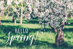 Spring blossoms apple tree in sunny day royalty free stock photo