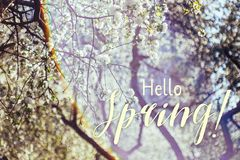 Spring blossoms apple tree in sunny day royalty free stock photos