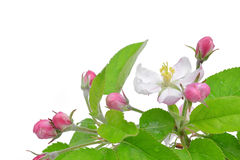 Spring blossoms apple tree Stock Photo