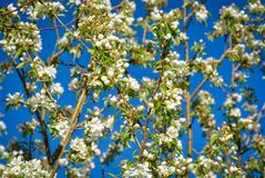 Spring Blossoms and Azure Sky Royalty Free Stock Photography