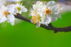 Spring blossoms background Stock Photos