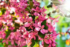 Spring blossoms background Royalty Free Stock Photos