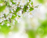 Spring blossoms background Royalty Free Stock Images
