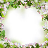 Spring blossoms background Royalty Free Stock Photo