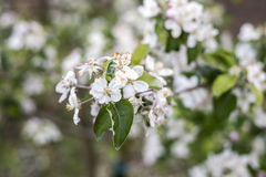 Spring blossoms beautiful flowers on apple tree in nature Royalty Free Stock Image