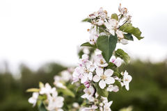 Spring blossoms beautiful flowers on apple tree in nature Stock Image