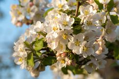 Spring blossoms of blooming apple tree in springtime royalty free stock photography