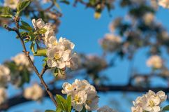 Spring blossoms of blooming apple tree in springtime royalty free stock photos