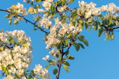 Spring blossoms of blooming pear tree in springtime stock photography
