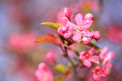 Spring Blossoms Royalty Free Stock Images