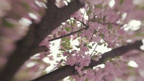 Spring blossoms. Blossom on a Japanese cherry tree. Spring landscape. No people around. Outside shooting, windy weather. Spring atmosphere. Camera stabilizer stock video