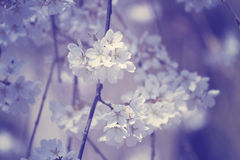 Spring Blossoms On A Branch Stock Image