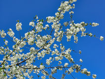 Spring Blossoms Cherry Royalty Free Stock Images
