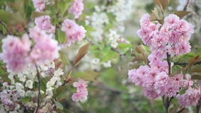 Spring blossoms. Cherry in full bloom in springtime - branches of tree waving in the wind stock video footage