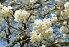 Spring blossoms cherry tree Stock Photo